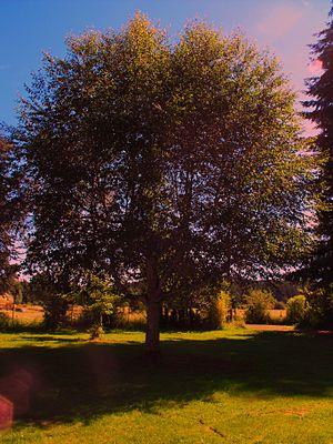 300px-Tree_on_the_Cahill_farm
